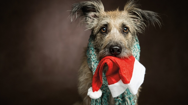 Dog with Santa hat in mouth